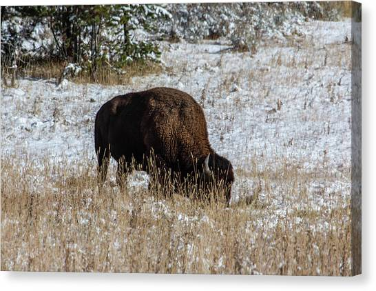 Canvas Print featuring the photograph Bison In The Snow by Pete Federico