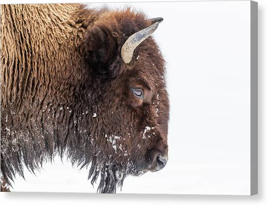 Bison In Winter Canvas Print by Kencanning