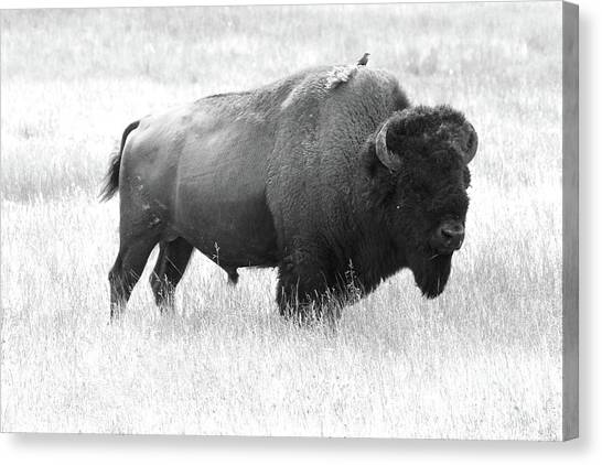 Canvas Print - Bison - Monochrome by Christiane Schulze Art And Photography