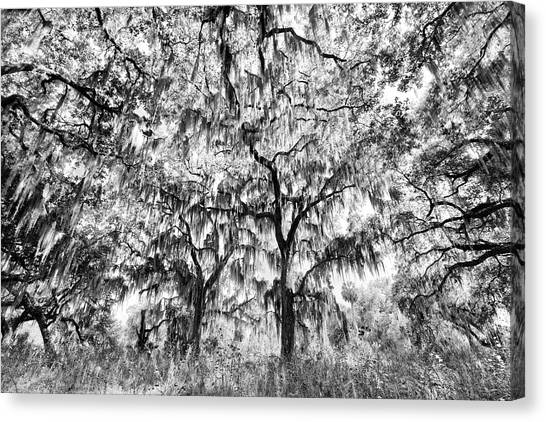 Black And White Of Live Oaks Draped Canvas Print by Adam Jones