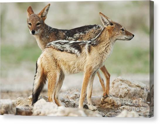 Southern Africa Canvas Print - Black-backed Jackal, Canis Mesomelas by Peter Fodor