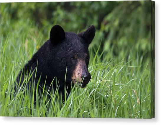 Black Bear, Spring Rain Canvas Print by Ken Archer