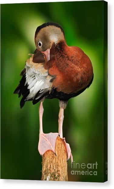 Zoology Canvas Print - Black-bellied Whistling-duck by Ondrej Prosicky
