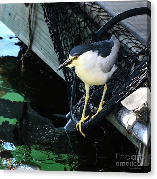 Black-crowned Night Heron Planning Its Dinner Canvas Print