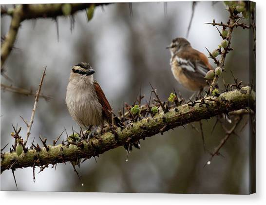 Black-crowned Tchagra And White-browed Scrub-robin Canvas Print