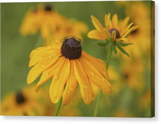 Canvas Print featuring the photograph Black-eyed Susans by Dale Kincaid