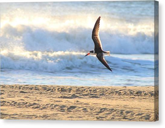 Canvas Print featuring the photograph Black Skimmer Soaring by Robert Banach