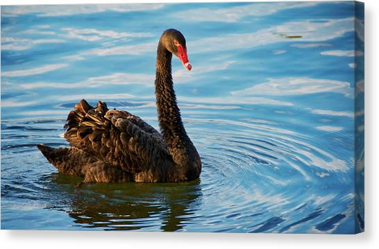 Black Swan Making Ripples  Canvas Print