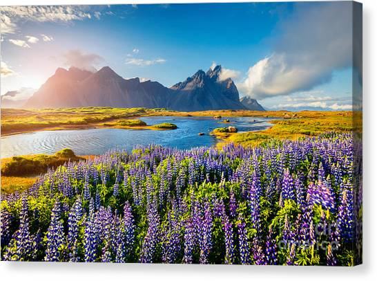 North Shore Canvas Print - Blooming Lupine Flowers On The by Andrew Mayovskyy