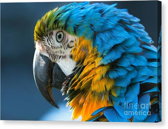 Macaw Canvas Print - Blue-and-yellow Macaw Lat. Ara Ararauna by Bogachyova Arina
