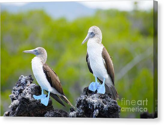 Cliffs Canvas Print - Blue Footed Boobies - Galapagos - by Adwo