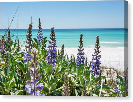 Blue Lupine On The Beach Canvas Print