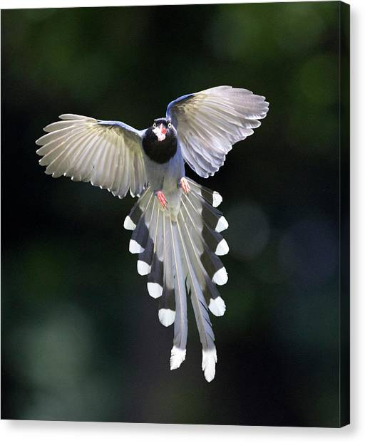 Blue Magpie Flying Canvas Print