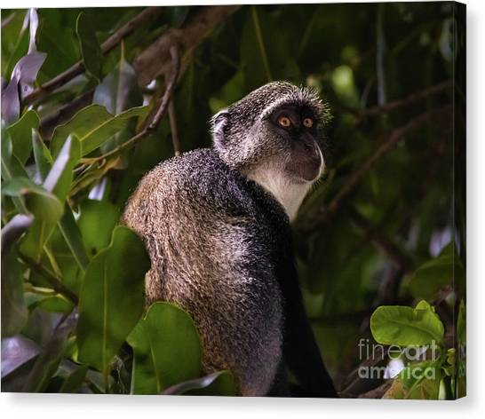 Blue Monkey, Zanzibar Canvas Print
