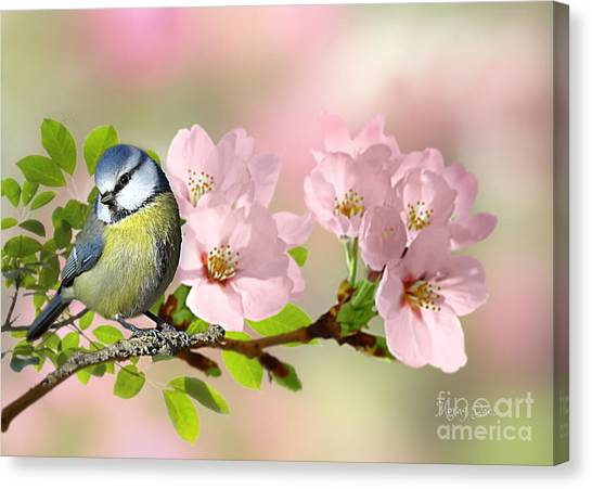 Blue Tit On Apple Blossom Canvas Print