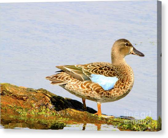 Blue-winged Teal Female Duck Canvas Print