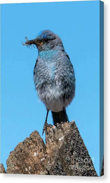 Crickets Canvas Print - Bluebird Dinner by Mike Dawson
