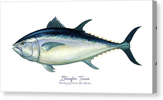 Squids Canvas Print - Bluefin Tuna by Charles Harden