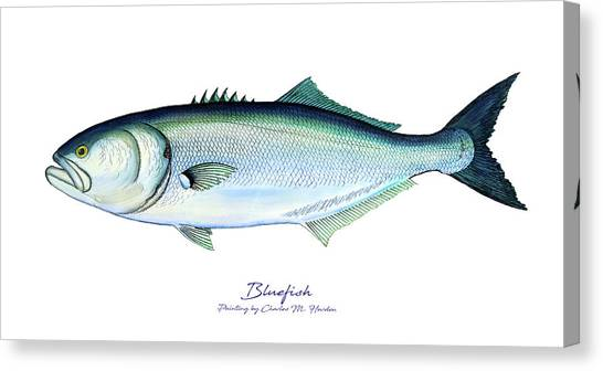 Bluefish Canvas Print