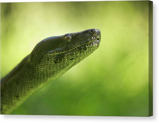Boas Canvas Print - Boa Constrictor Snake, Costa Rica by Paul Souders