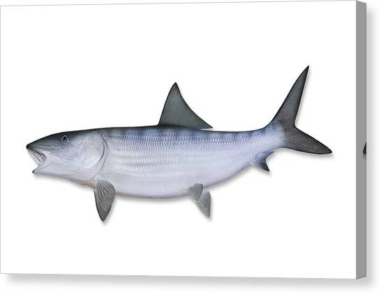 Bonefish With Clipping Path Canvas Print by Georgepeters