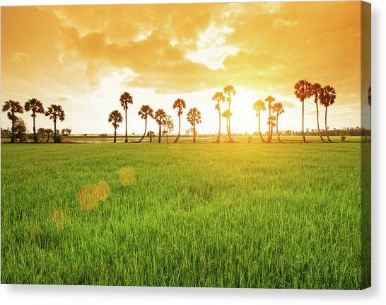 Borassus Flabellifer Field Canvas Print by Jethuynh