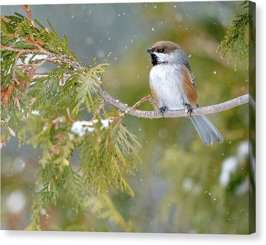 Boreal Chickadee In Winter Canvas Print