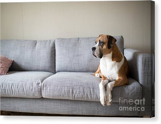 Purebred Canvas Print - Boxer Mix Dog Laying On Gray Sofa At by Anna Hoychuk