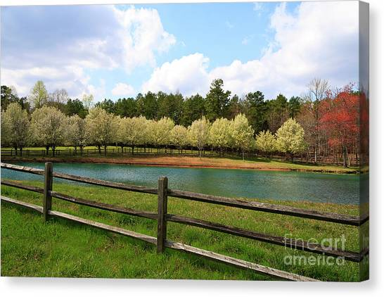 Bradford Pear Trees Blooming Canvas Print