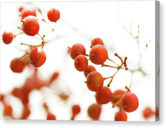 Brazilian Pepper 0493 Canvas Print