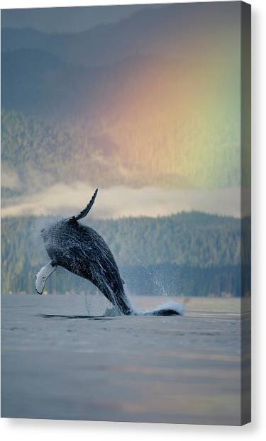 Breaching Humpback Whale And Rainbow Canvas Print