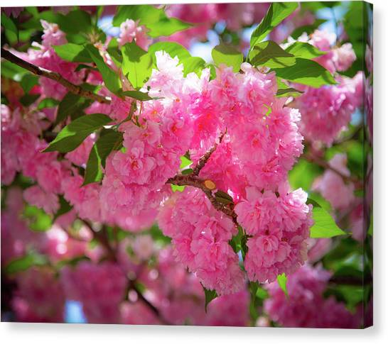 Bright Pink Blossoms Canvas Print