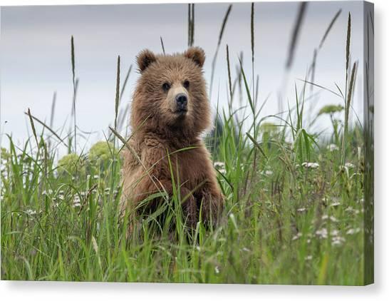 Brown Bear Cub In A Meadow Canvas Print