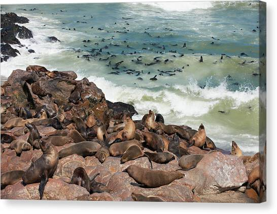 Brown Fur Seal, Cape Cross Canvas Print