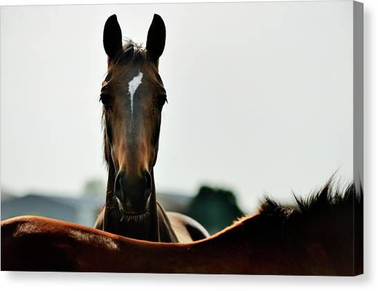 Brown Horse Back Lit Canvas Print by Akrp