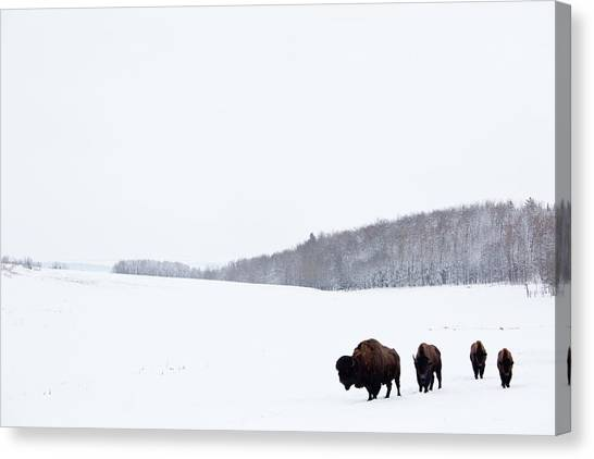 Buffalo Or Bison On The Plains In Winter Canvas Print