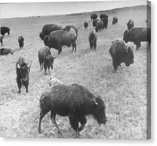 South Buffalo Canvas Print - Buffaloes Roaming In Custer State Park by Alfred Eisenstaedt