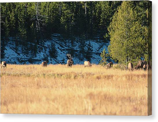 Canvas Print featuring the photograph Bull And His Babes by Pete Federico
