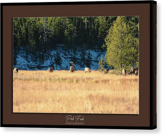 Canvas Print featuring the photograph Bull And His Babes Poster by Pete Federico