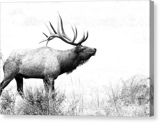 Bull Elk In Rut Canvas Print