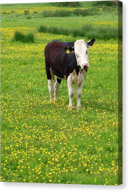 Bullock In Field Canvas Print by Myloupe/uig
