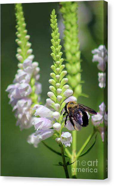 Bumblebee On Obedient Flower Canvas Print
