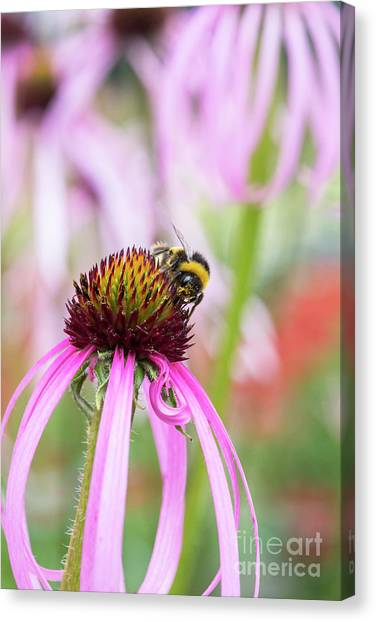 Pollinator Canvas Print - Bumblebee On Echinacea Simulata Flower by Tim Gainey