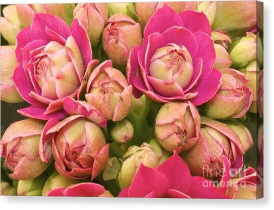 Burgeoning Little Wonderful Pink Canvas Print by Caglayan Unal Sumer