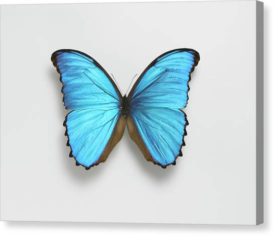 Butterfly Canvas Print by Adrian Burke