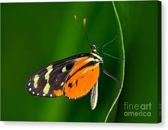 Butterfly Heliconius Hacale Zuleikas Canvas Print by Ondrej Prosicky
