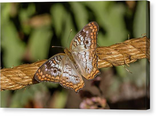 Anartia Jatrophae Canvas Print - Butterfly On A Rope by Marv Vandehey