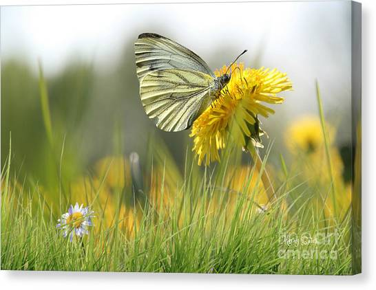 Butterfly On Dandelion Canvas Print