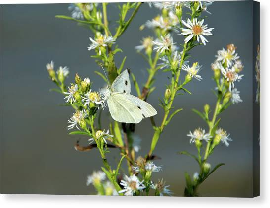 Cabbage White Butterfly On Flowers Canvas Print