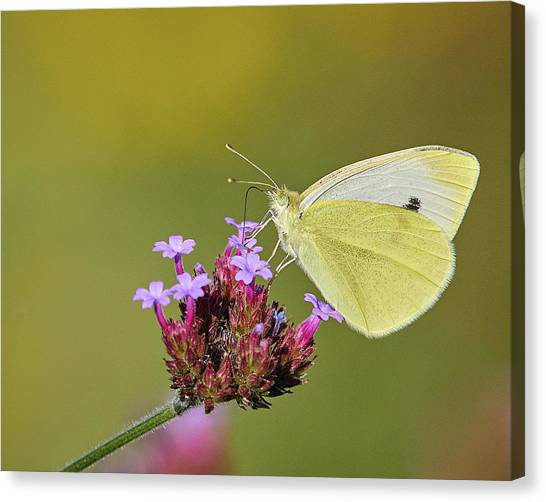 Cabbage White Butterfly Canvas Print